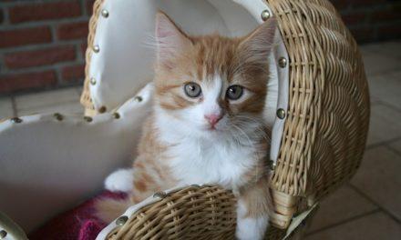 Maine Coon: come prendersi cura della pelliccia del tuo gatto