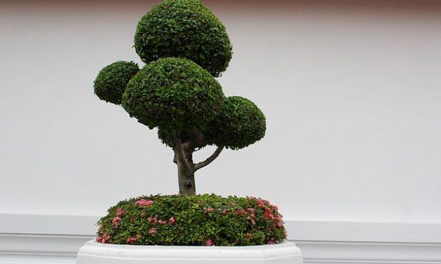Rivivere i bonsai: così è possibile salvare l'impianto in miniatura in caso di danni secchi