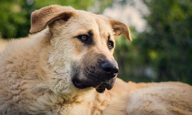 Cani pastore: educare i cuccioli in modo giocoso e corretto