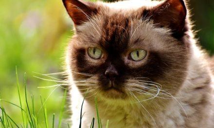 Cat ha mangiato orpelli: come aiutare rapidamente