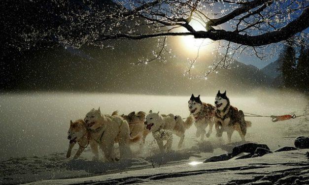 Entlebuch's cuccioli di mucca cani sono allevati secondo la razza