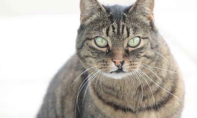 Il gatto ha ferite alla testa: possibili cause e trattamento