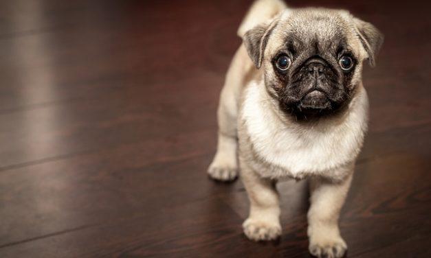Carlino: informazioni sulla detenzione e la cura della razza canina