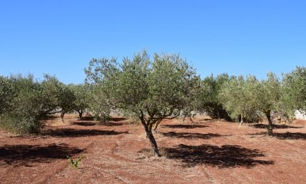 Istruzioni per la cura di un olivo