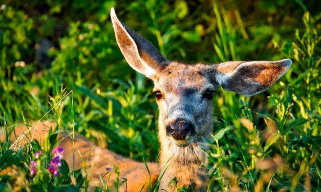 Distribuzione del cervo: come funziona