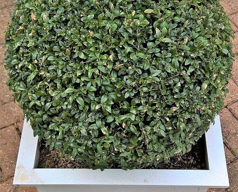 Fioritura piante intercalari, inverno duro: mantenere le foglie sempreverdi