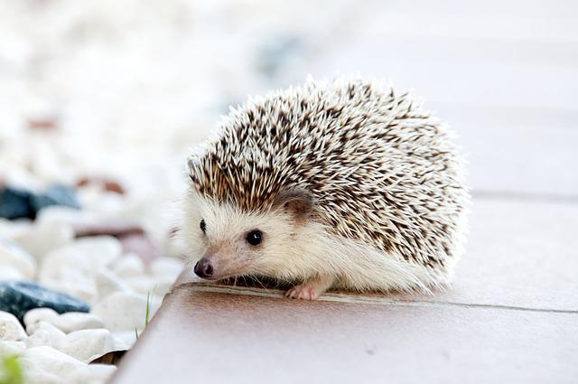 Non disturbare l'ibernazione del riccio: è così che ci si comporta nel proprio giardino