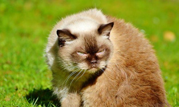 Acari di gatto e gli esseri umani: fatti interessanti