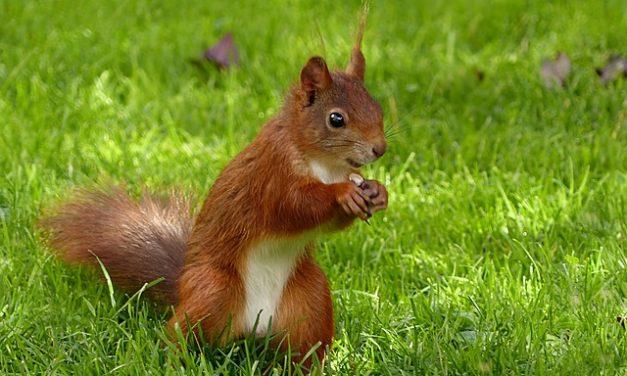 Diffondere scoiattoli: è la strada da percorrere