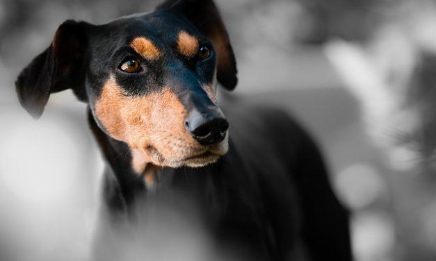 Il cane ha un naso caldo: cosa fare?