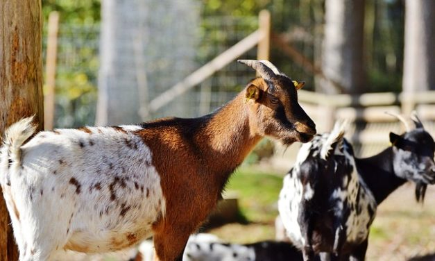 Comprare Mini capre