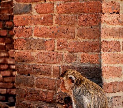 Comprare una scimmia casalinga: Pro e contro