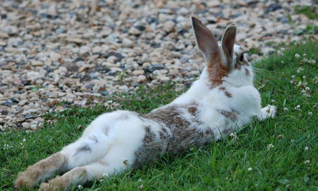 Conigli albini: fatti interessanti su conservazione e manipolazione