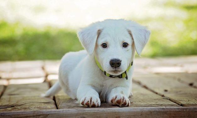 Labrador Mix cuccioli: atteggiamento e manipolazione