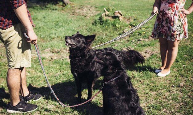 Rottweiler-Educazione: una formazione professionale