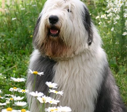 Tè camomilla per cani – in modo da poter alleviare il disagio