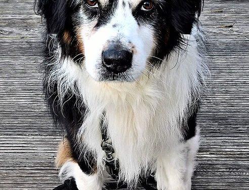 Cappotto sfocato nei cani: nutrizione e cura per un cappotto lucido