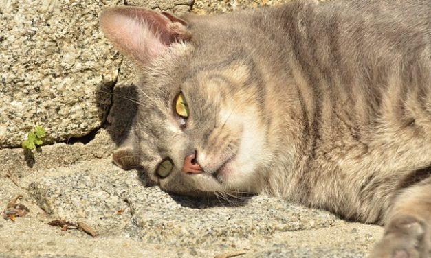 Cat shakes: cosa fare?