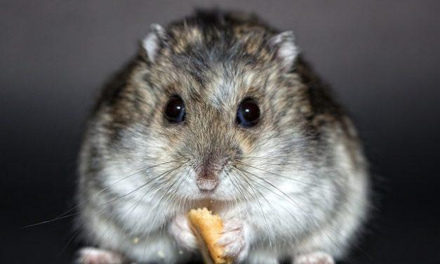 Comprare un criceto nano: cosa tenere a mente