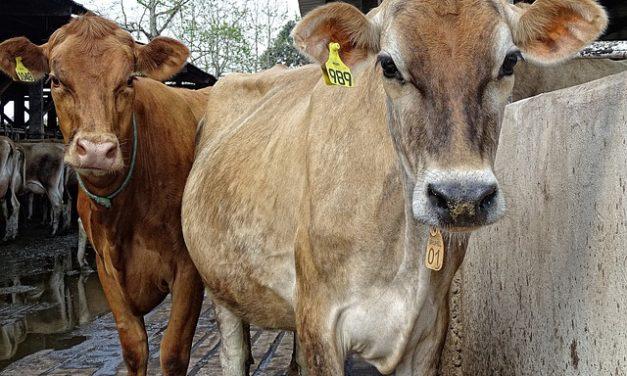 Quanti bovini ci sono in Germania?