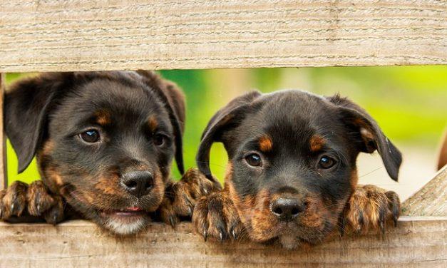 Acquista cuccioli Rottweiler