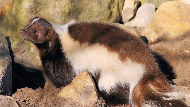 Skunk come animale domestico? Come scegliere il compagno giusto