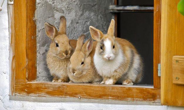 Testa inclinabile in conigli