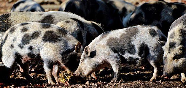 Allevamento di suini domestici: come allevarli in funzione della specie