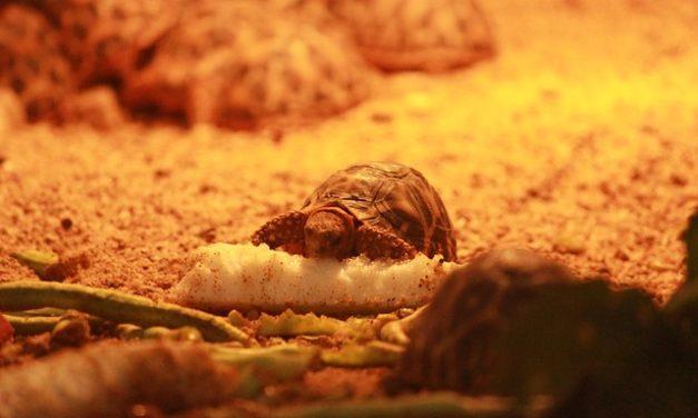 Che cosa mangiano le tartarughe? Come rendere felice il tuo animale domestico