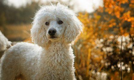 Parrucchiere cane: devi fare i conti con questi costi per la barboncino