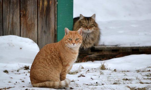 Gatti all'aperto in inverno: si noti questo