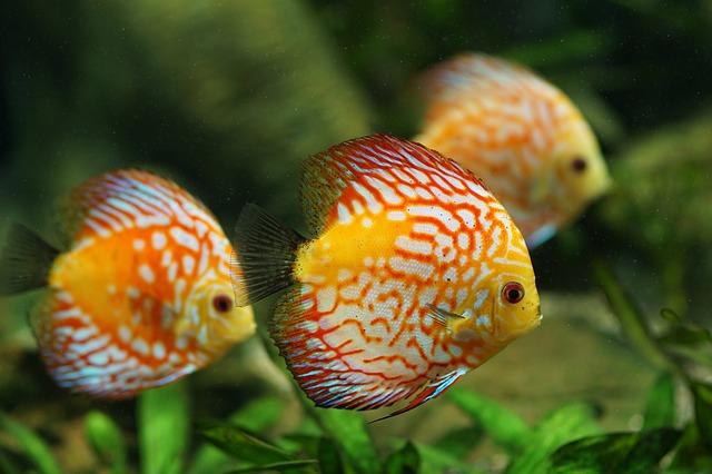 Guppy nell'acquario: tenere le specie ittiche in un luogo adatto alle esigenze dei pesci