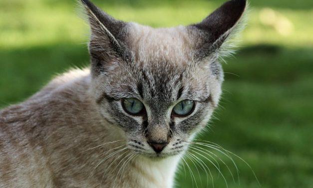 Raucedine nei gatti – in modo da alleviare il disagio