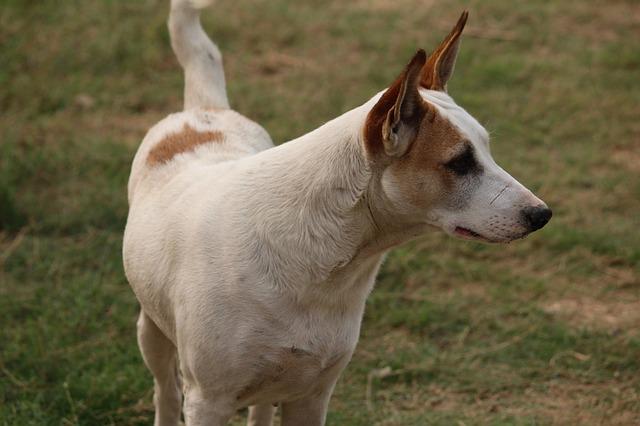 Razza cane più intelligente: come impiegare il Border Collie secondo la sua intelligenza