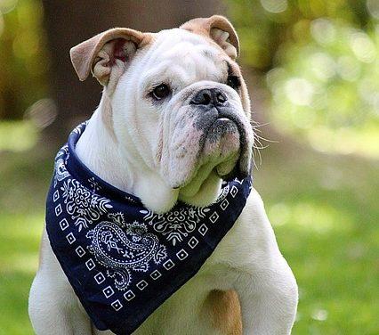 Maschio alfa: è così che si allena un cane ostinato