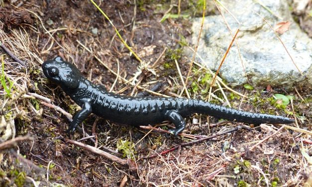 """""""Cosa mangiano le salamandre""""? Cosa tenere a mente quando si tiene il cane"""