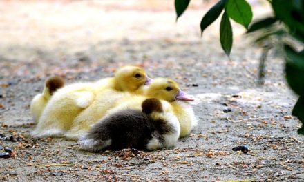Costruire il proprio bevitore di pollo: Come costruirlo da soli