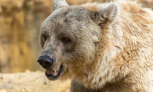 L'acquisto di un orso wraparound: si dovrebbe essere consapevoli di quello