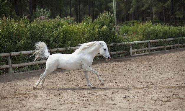 """Cavalli frisoni: fatti interessanti sulle """"perle nere""""."""
