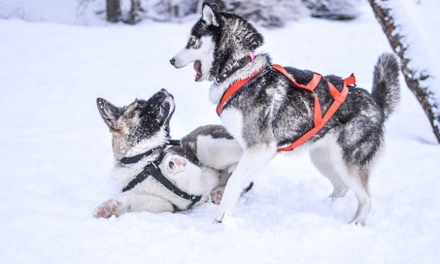Acquistare Akita: Tutto sulla razza cane