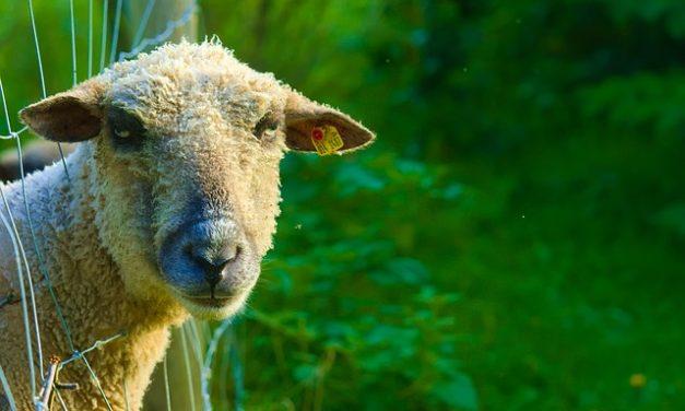 Cosa mangiare pecore: nutrire le pecore secondo la loro specie