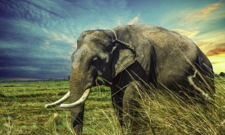 Acquista un elefante? Valore notevole