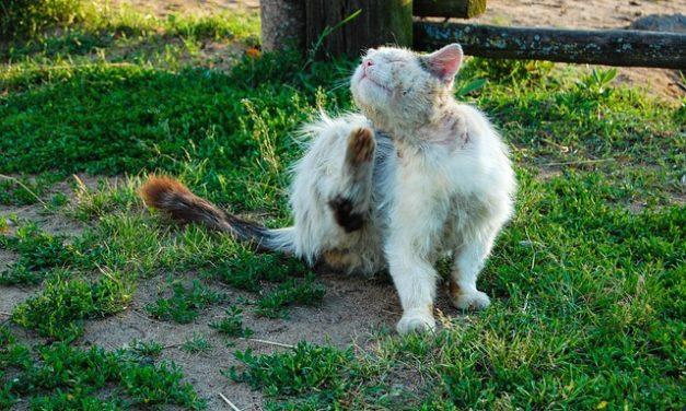 Gatto ha pulci: come pulire l'appartamento