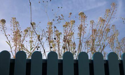 Pianta di senape: come curare la pianta
