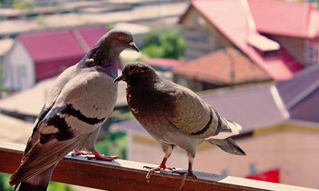 Colombe dal balcone allontanarsi: come funziona