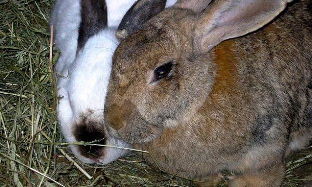 Portafieno per conigli: Istruzioni per l'edilizia