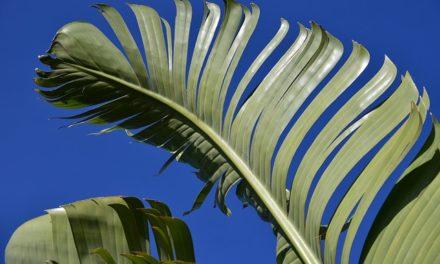 Banana albero: cura corretta per i rami