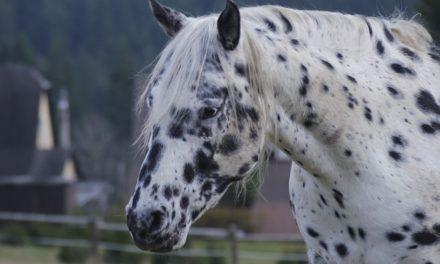 Insegnare un cavallo a sdraiarsi: questo è il trucco