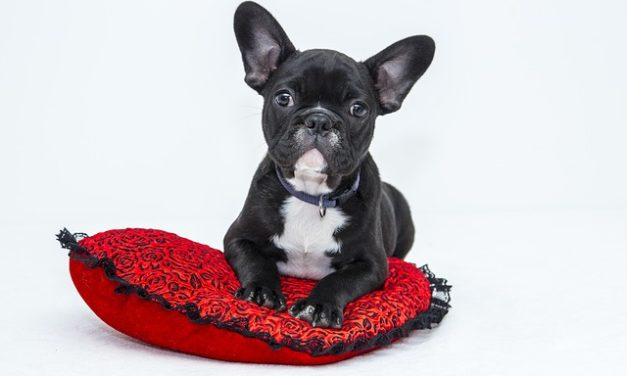 Francese cuccioli Bulldog: fatti interessanti circa l'atteggiamento e la gestione