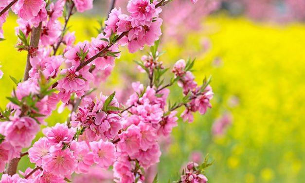 Girasole come fiore reciso per farla durare più a lungo